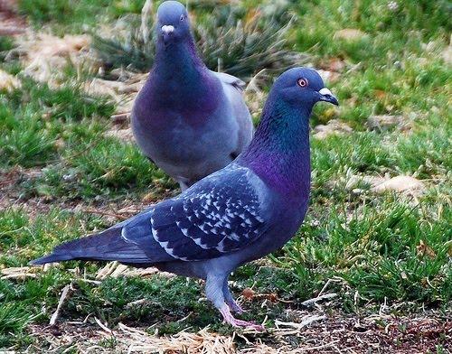 Bazigar Pigeon