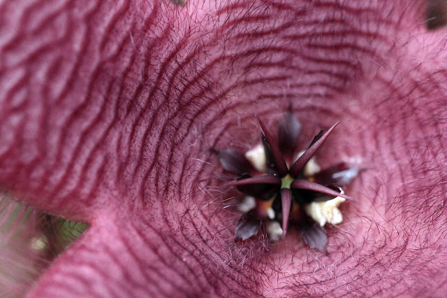 Stapelia grandiflora - Flower
