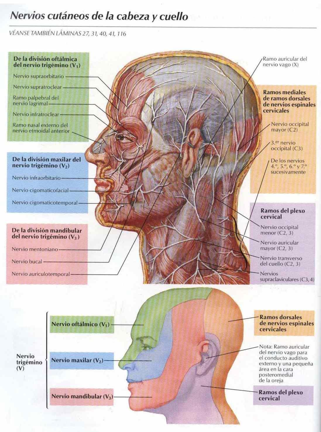Nervios cutáneos de la cabeza y cuello - Salud, vida sana, la ...