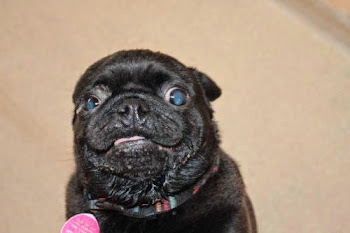 Meet Gus...A Pug Available at the SPCA