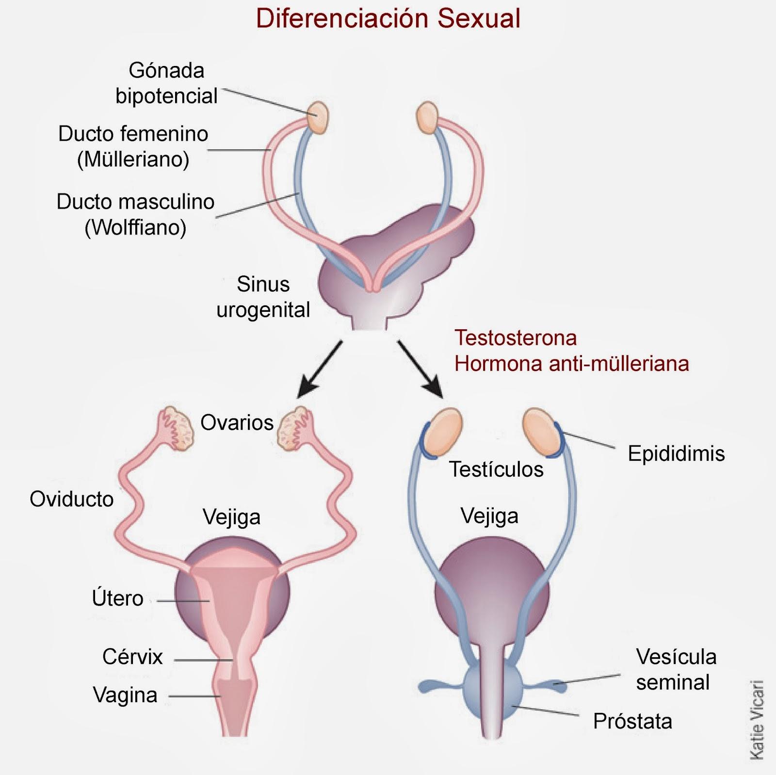 Generación de los ovarios y útero a partir del ducto mulleriano y de los testículos a parti del ducto wolffiano