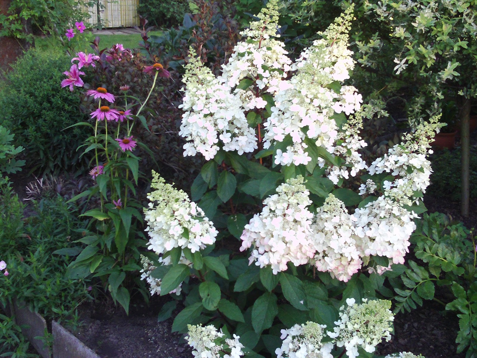 hydrangea paniculata pinky winky rispenhortensie. Black Bedroom Furniture Sets. Home Design Ideas