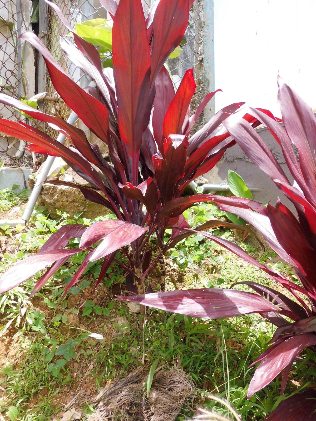 Mi patio y yo palmas y otras plantas - Plantas que aguanten el sol ...