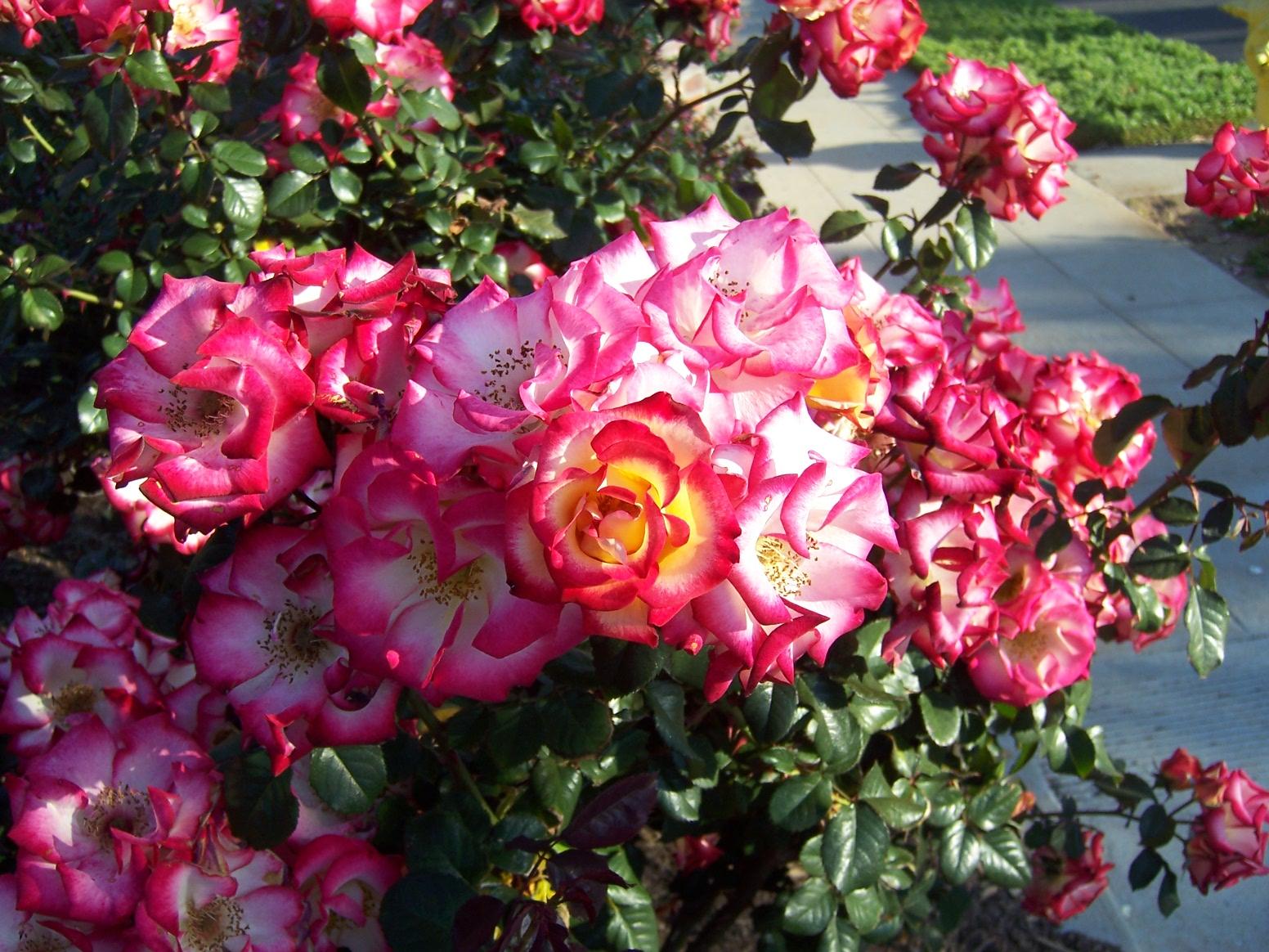 the 2 minute gardener photo floribunda rose 39 betty boop 39. Black Bedroom Furniture Sets. Home Design Ideas