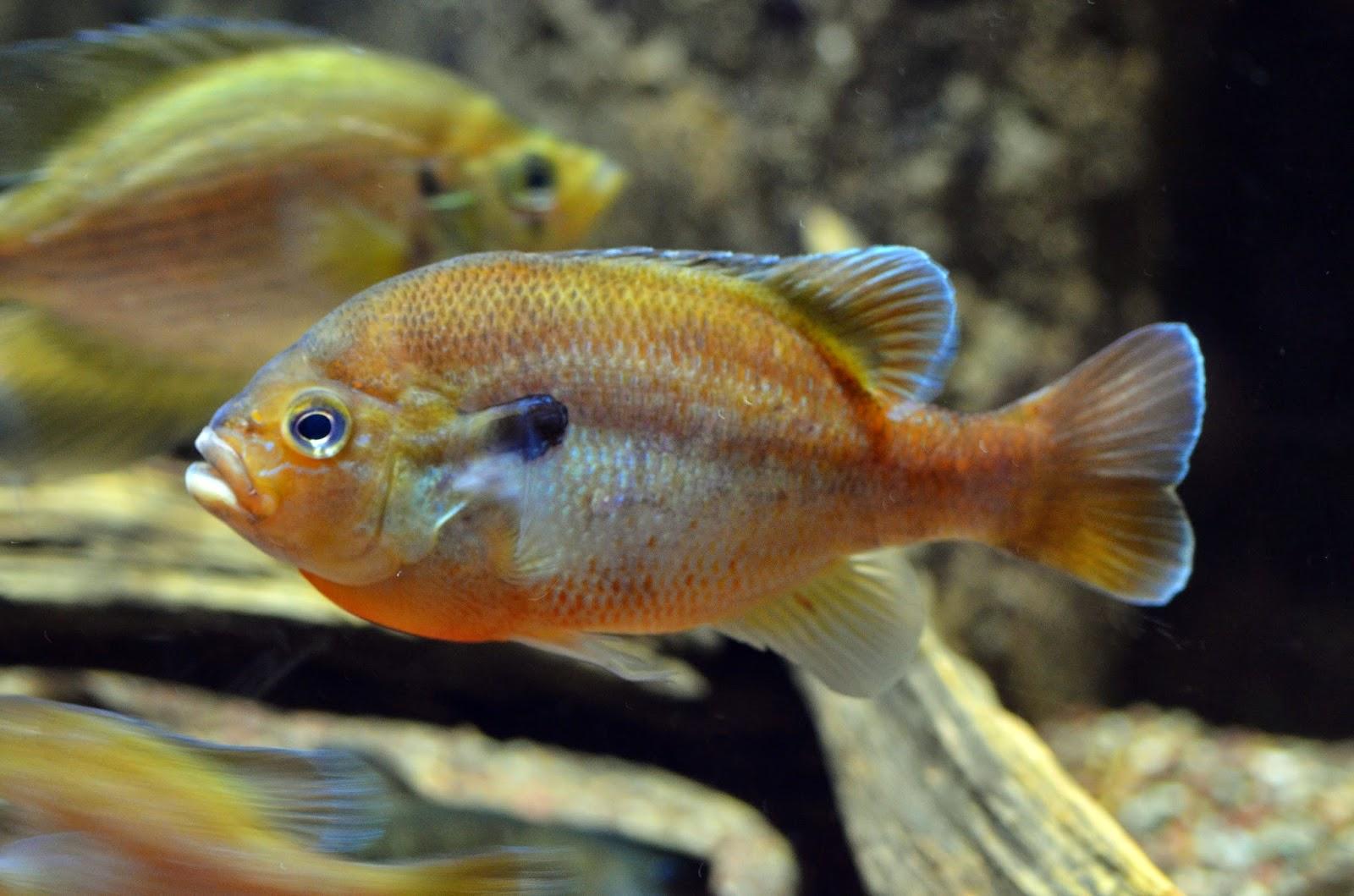 Virginia Fishes: Redbreast sunfish fry development