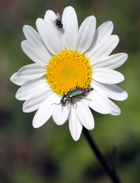 Red-tipped flower beetle, Malachius bipustulatus, and a Tachinid fly on an ox-eye daisy (Leucanthemum vulgare) in High Elms Country Park, 4 May 2011.  EOS 450D, Canon 100mm macro lens.