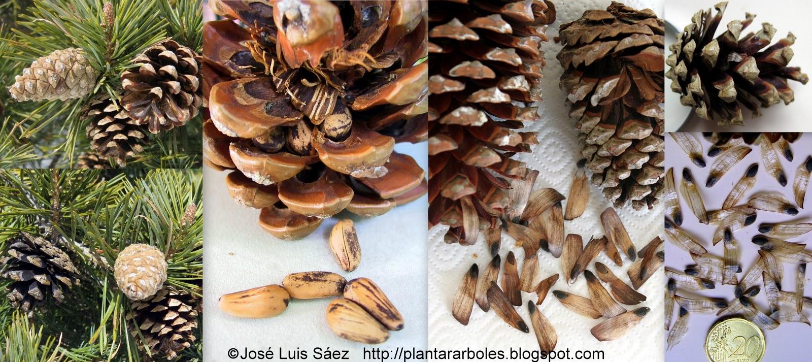 fotos de semillas de arboles