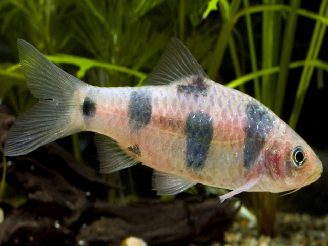 List of freshwater fish beginning with c animals name a to z for Freshwater clown fish