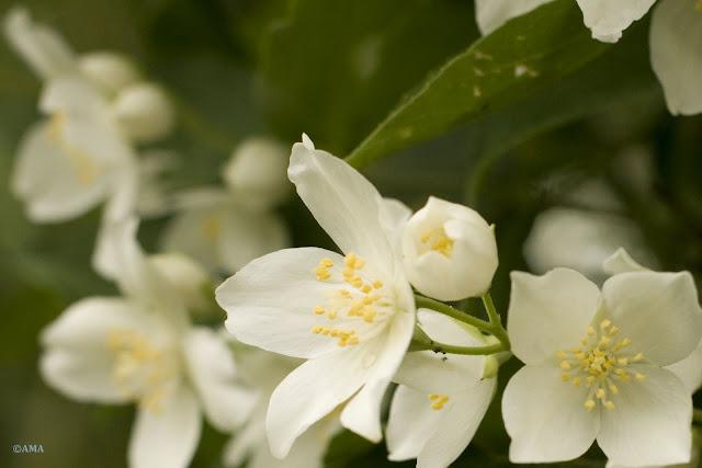 Flori de iasomie (Jasminum)