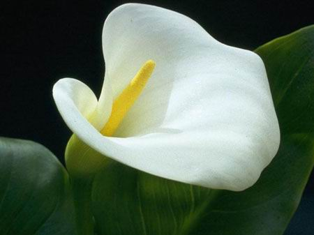 Calla Lily Flowers