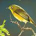 Cara Mudah Ternak Burung Pleci Terbaru 2016
