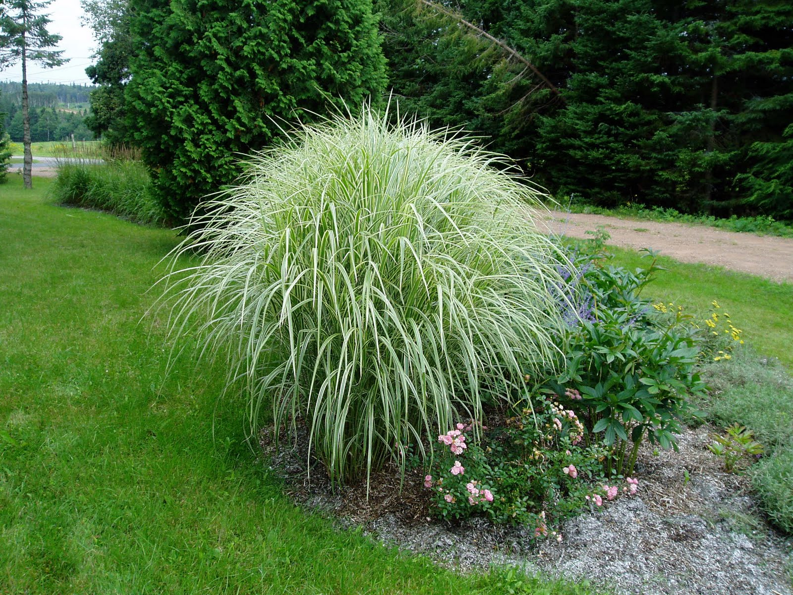 Lovegrass farm miscanthus sinensis 39 variegatus for Full sun ornamental grass