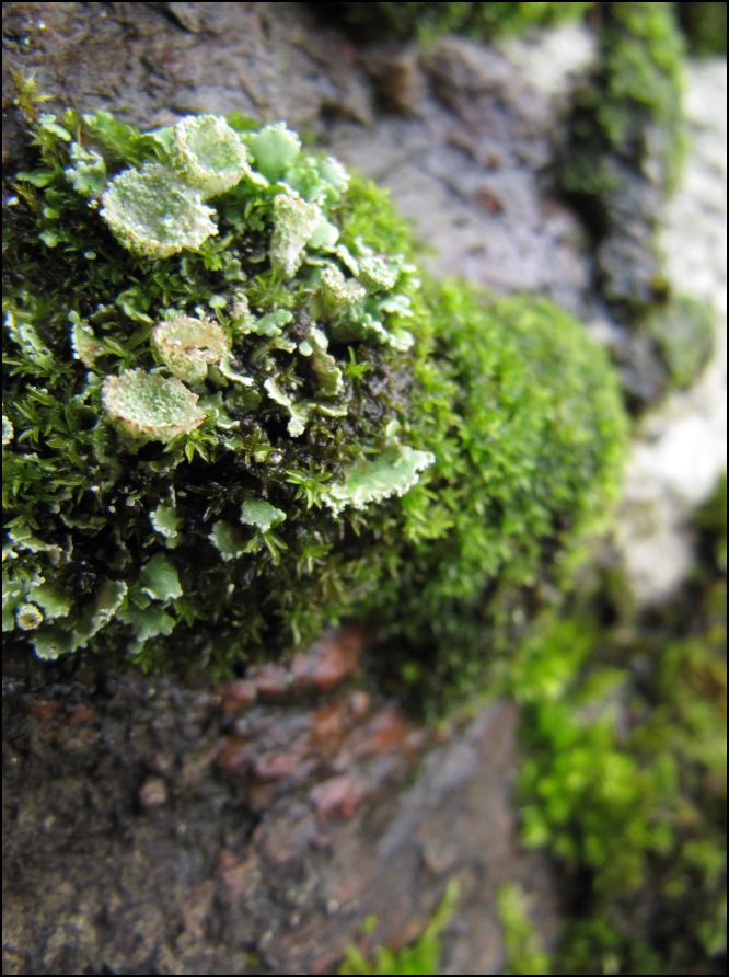 Islay Natural History Trust: Mosses and Lichens - Bruaich ...