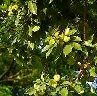 super benefits angsana tree bark