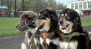 Tibetan Mastiff – $582,000. The largest Tibetan Mastiffs can stand over 31 .