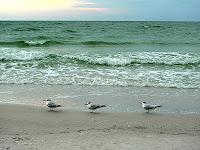 Seagulls St. Pete Beach