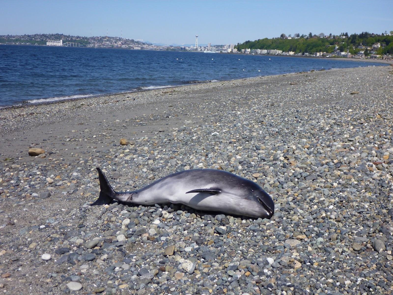 Harbor porpoise - photo#25