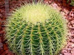 merawat-kaktus