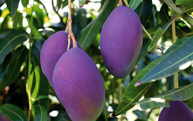 The Purple Mango Tree