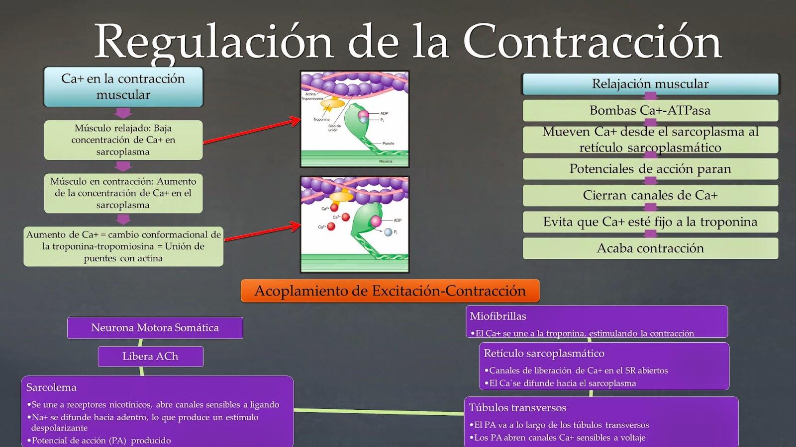Fisiología Básica - Gabriel Olmeda: Regulación de la contracción ...