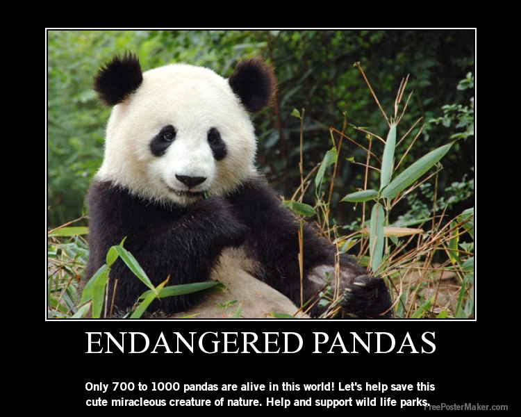 panda extinct Fossils of the extinct red panda parailurus anglicus have been unearthed from china in the east to britain in the west in 1977, a single tooth of parailurus was discovered in the pliocene ringold formation of washington.