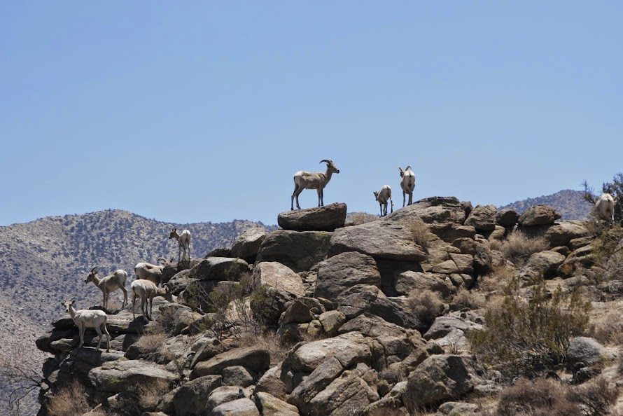 Bighorn sheep herd 05/26/14