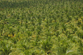 Brazillian Coconut Plantation