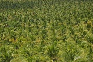 Brazillian Coconut Plantation