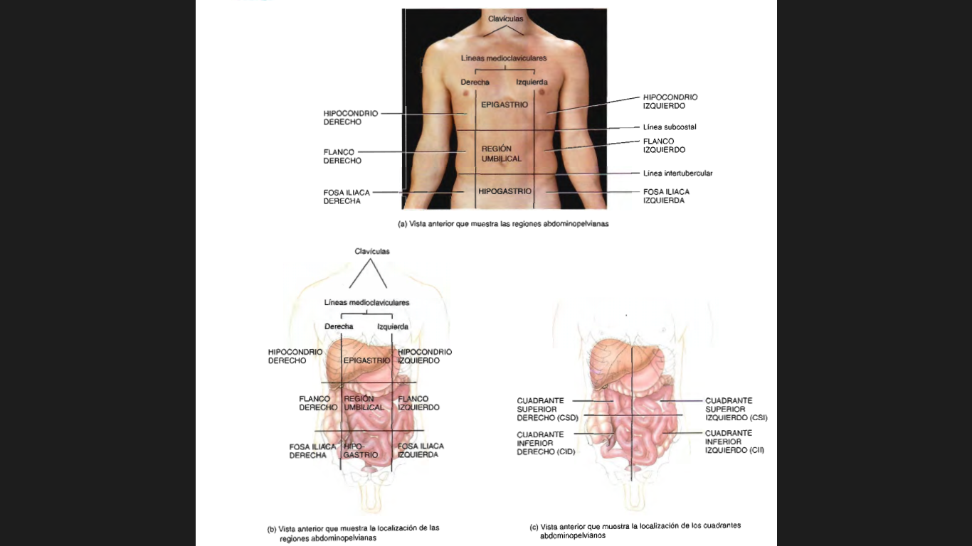 FISIOLOGIA (planimetria y sistema cardiovascular): terminos ...