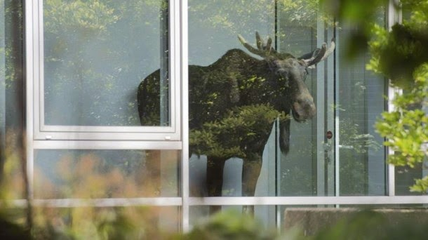 A Moose Needs An Office To Work
