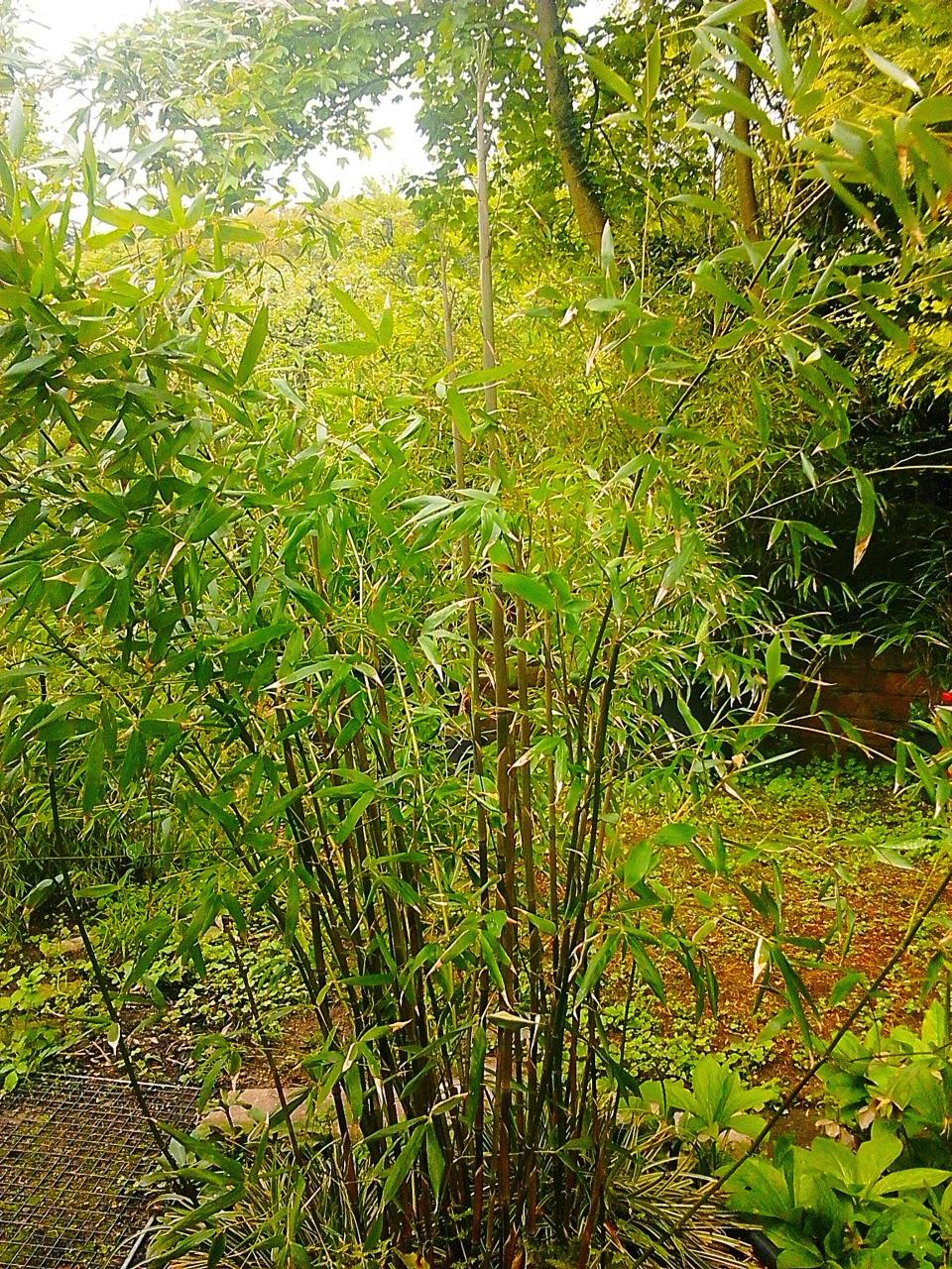 bambus im s dwesten phyllostachys bissetii. Black Bedroom Furniture Sets. Home Design Ideas