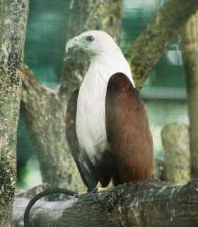 Foto Burung Elang Bondol (Elang Laut)