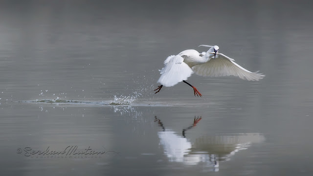 Küçük ak balıkçıl, Little egret, Egretta garzetta