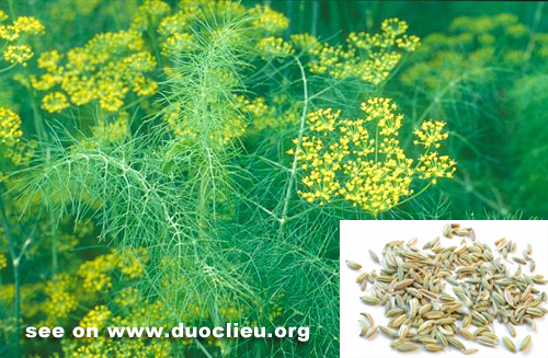 Fennel fruit (Xiaohuixiang)