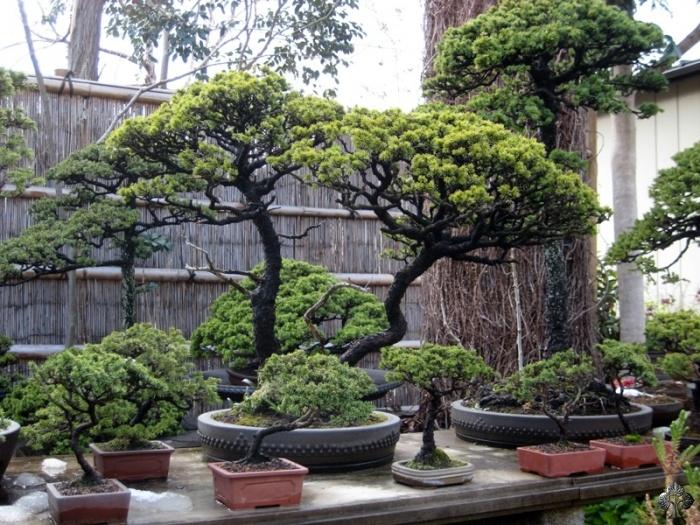 Nostromo bonsai omiya kyukuen for Vivero grinon