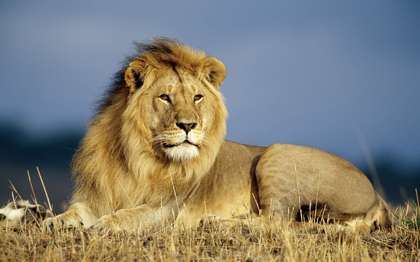 lion hd | earth blog