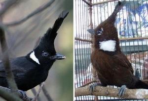Burung Cililin : Cara Mudah Dan Ciri-Ciri Burung Cililin Jantan Dan Cililin Betina