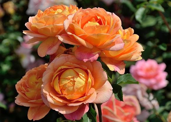 Lady of Shalott rose сорт розы фото