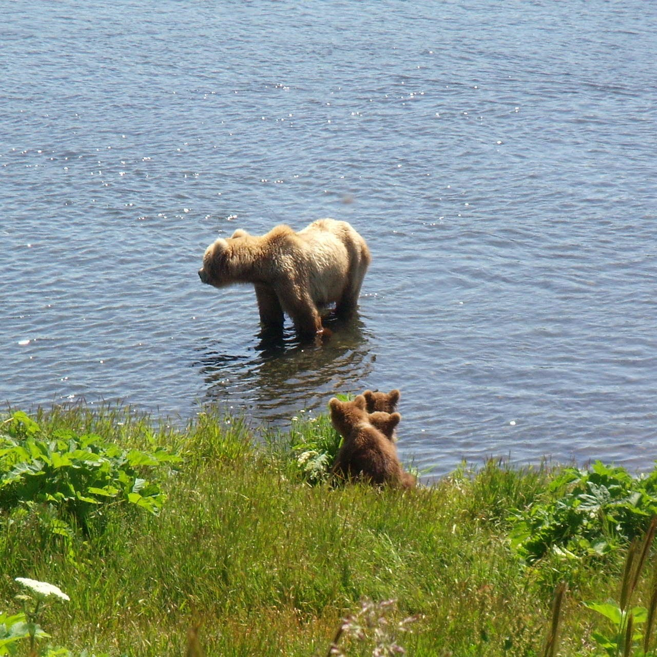 Funny animals of the week - 21 March 2014 (40 pics), funny animal pictures, baby bears wait for their mommy on the river