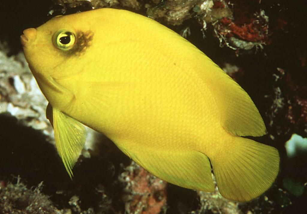 Fish Pictures: Heralds angelfish - Centropyge heraldi