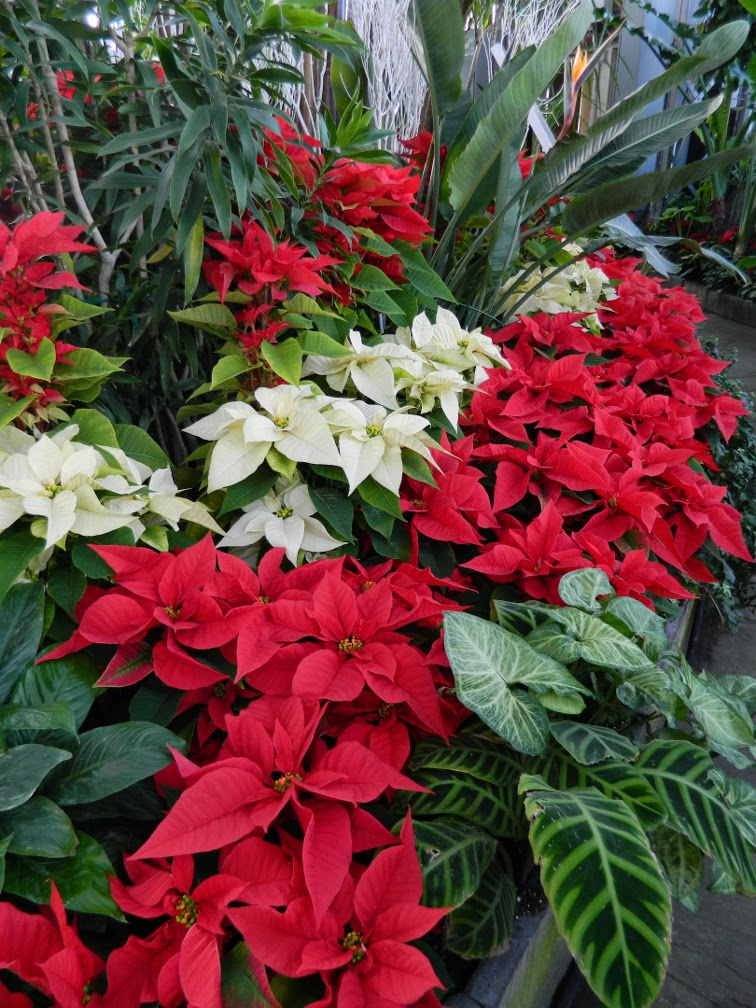 Red white poinsettias Allan Gardens Conservatory Christmas Flower Show 2014 by garden muses-not another Toronto gardening blog