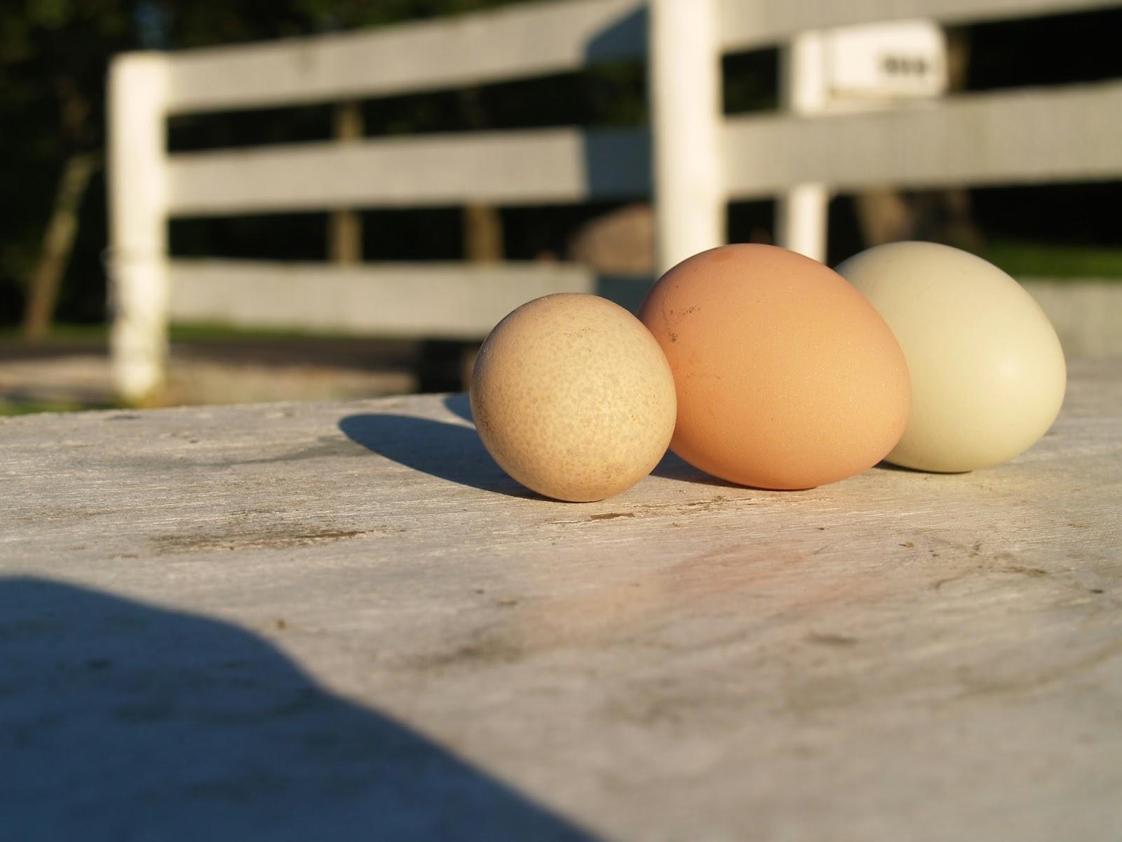 guinea egg vs chicken egg