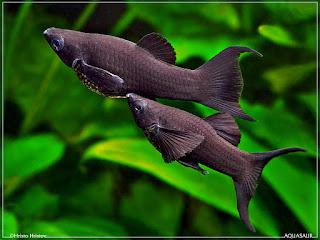 Ikan Hias Air Tawar yang Mudah Dipelihara di Akuarium