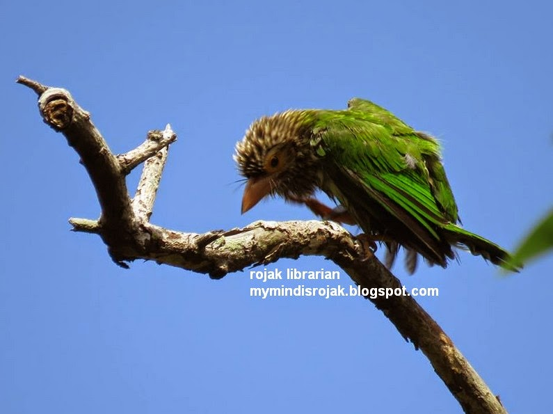 Lineated Barbet in Bidadari