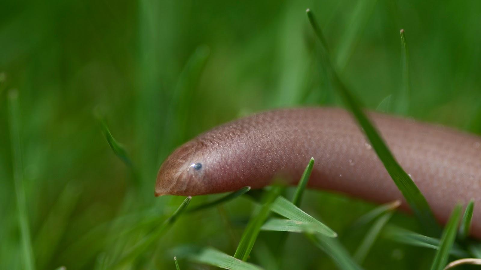 Blind Snake Pet Beaked Blind Snake
