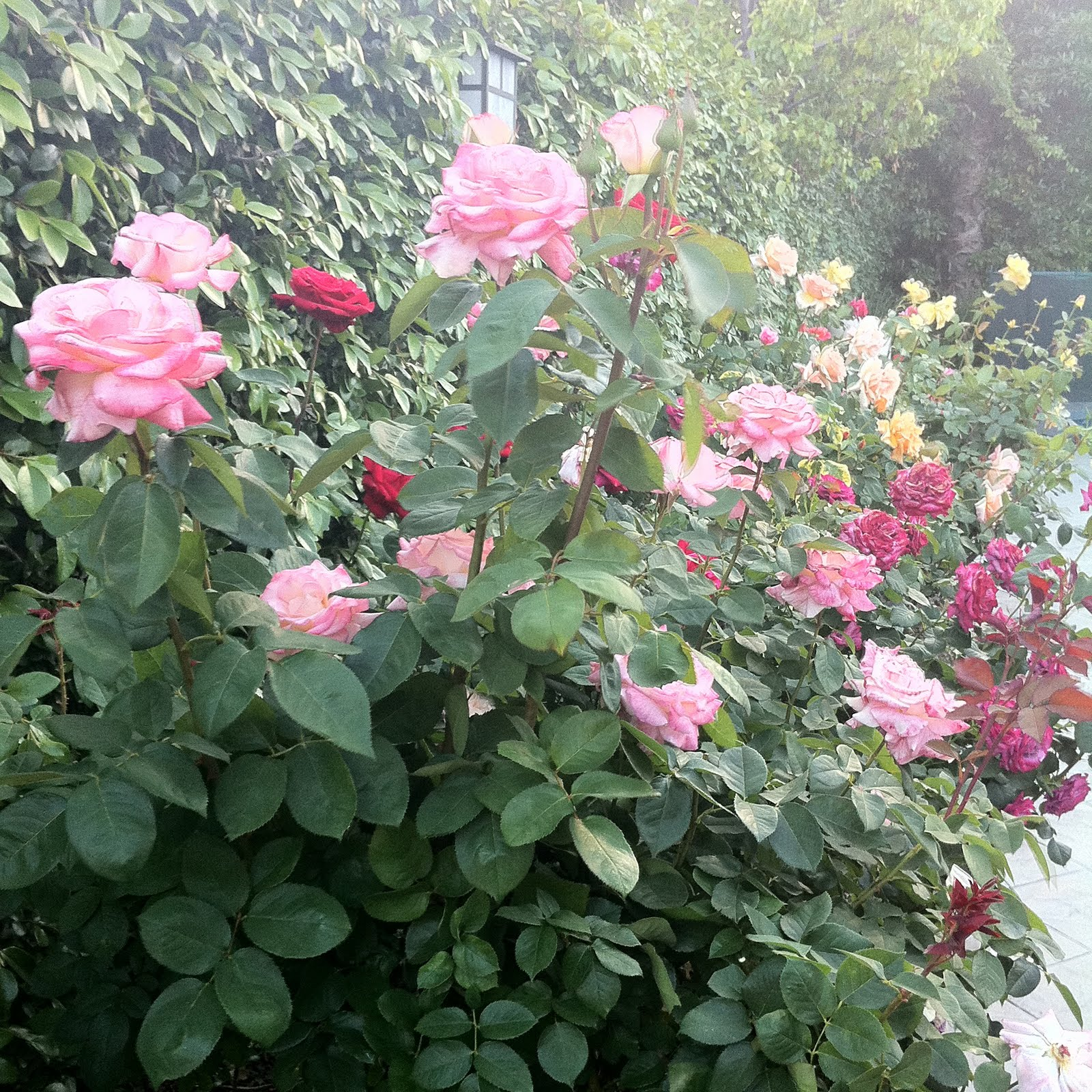 Backyard rose garden - My Rose Garden