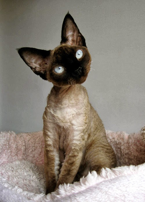 Cornish Rex Cat History,Size and Weight