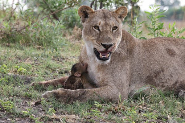 reacción de una leona con la cría del babuino