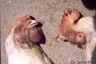 Gà chết tím bầm mặt do bệnh THT