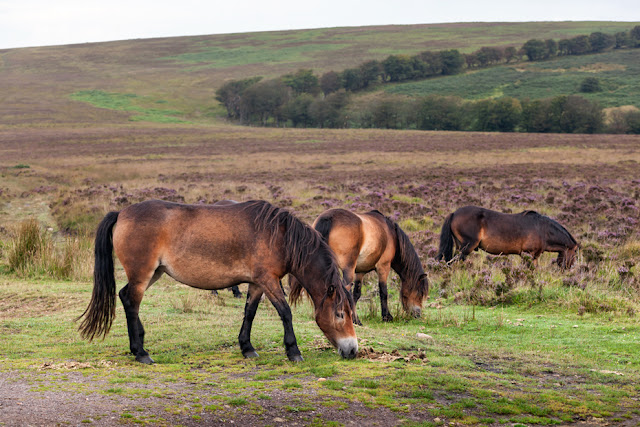A group of wild Exmoor Ponies chew on grass in Exmoor National Park by Martyn Ferry Photography